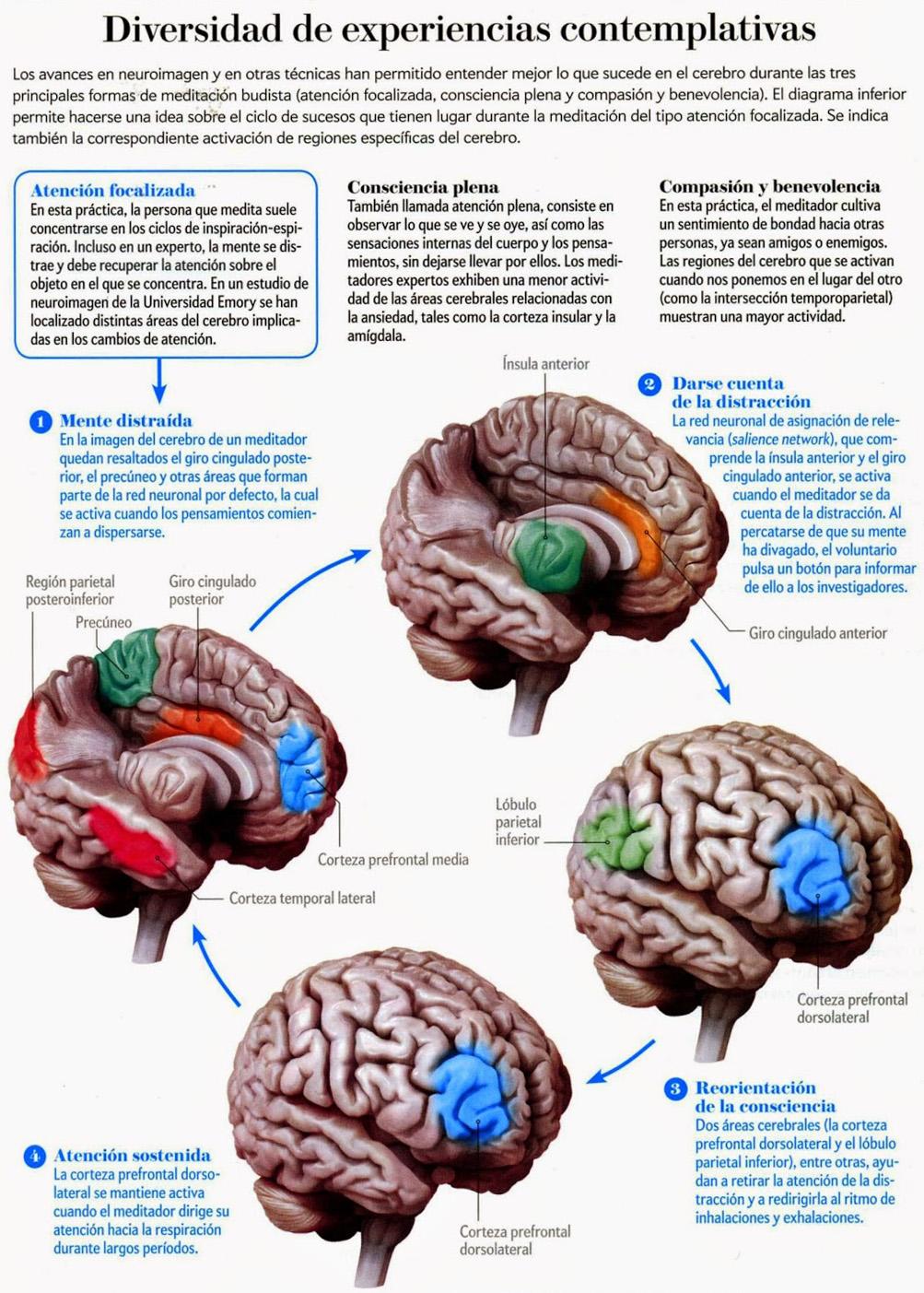 En el cerebro del meditador003